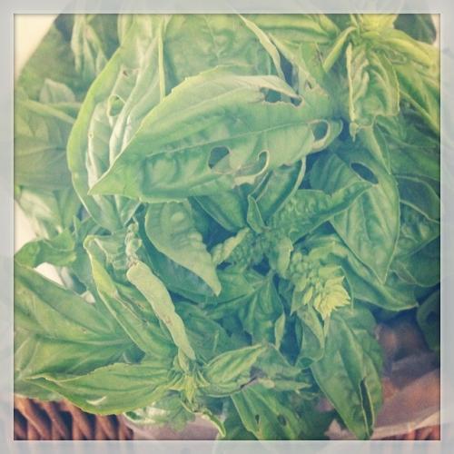 Organic Farmer Basil